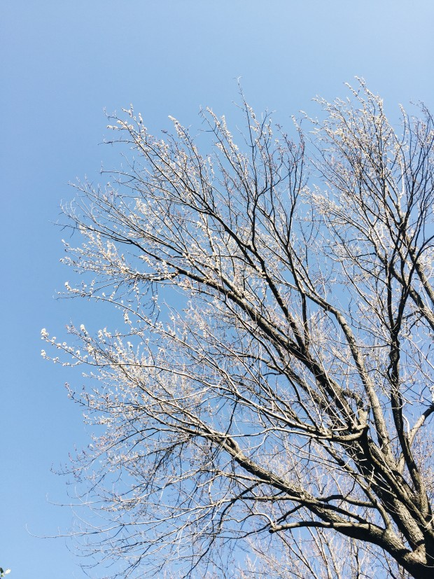 Early Spring Tree Buds