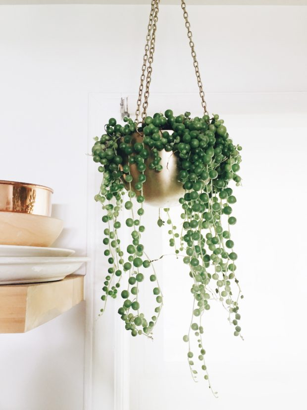 String of Pearls hanging plant