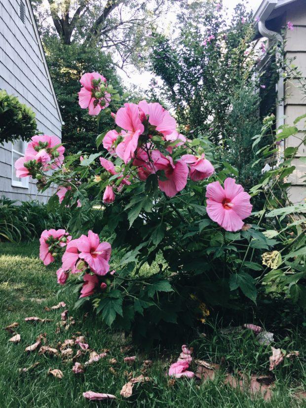 Hisbiscus flower bush