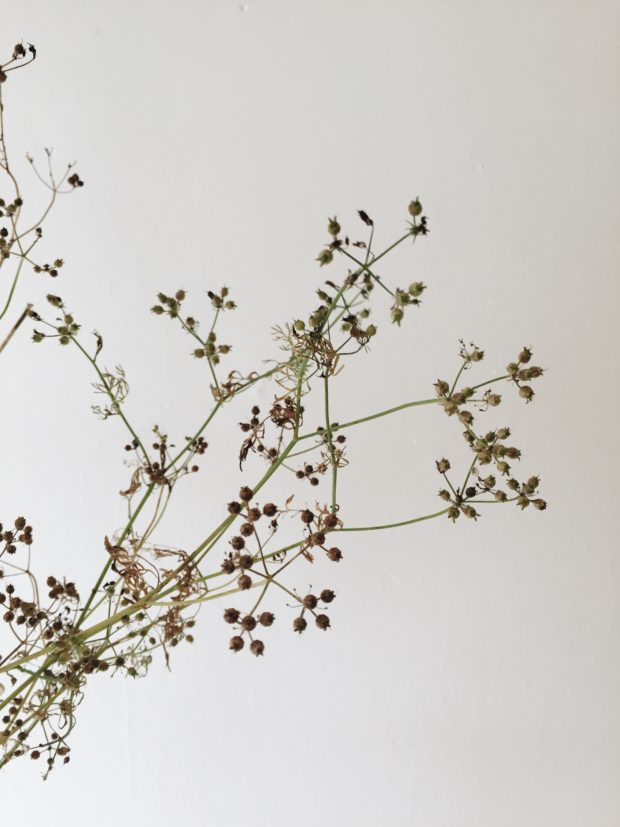 Dried coriander seeds ready to be harvested
