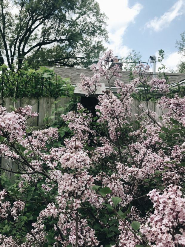 Tinkerbell Lilacs