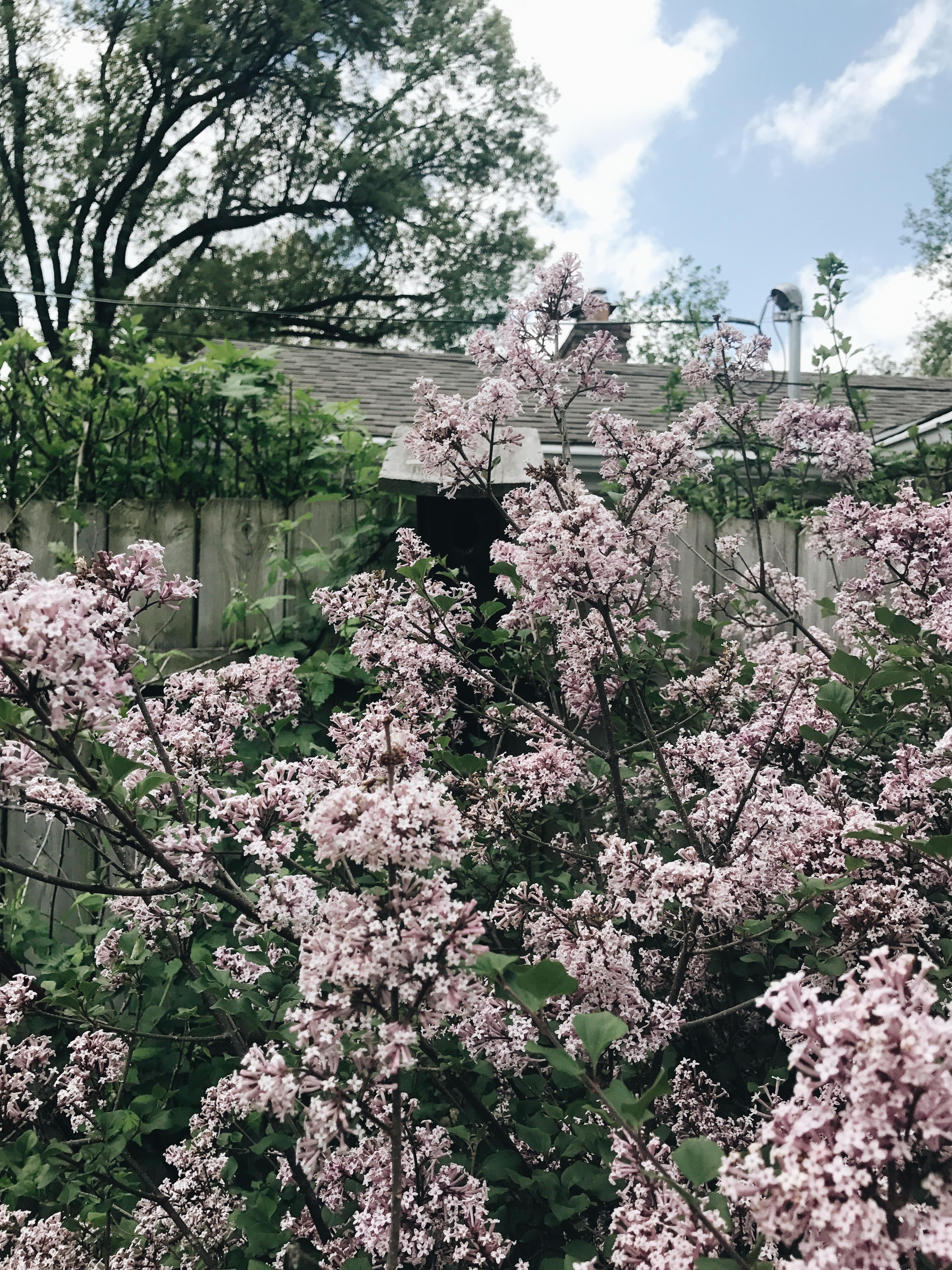 backyard tinkerbell lilacs