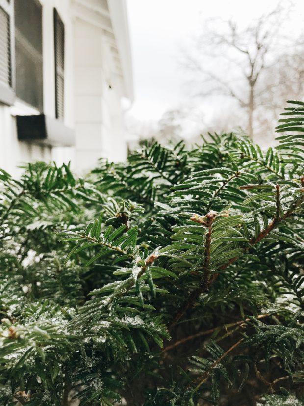 icy shrubs