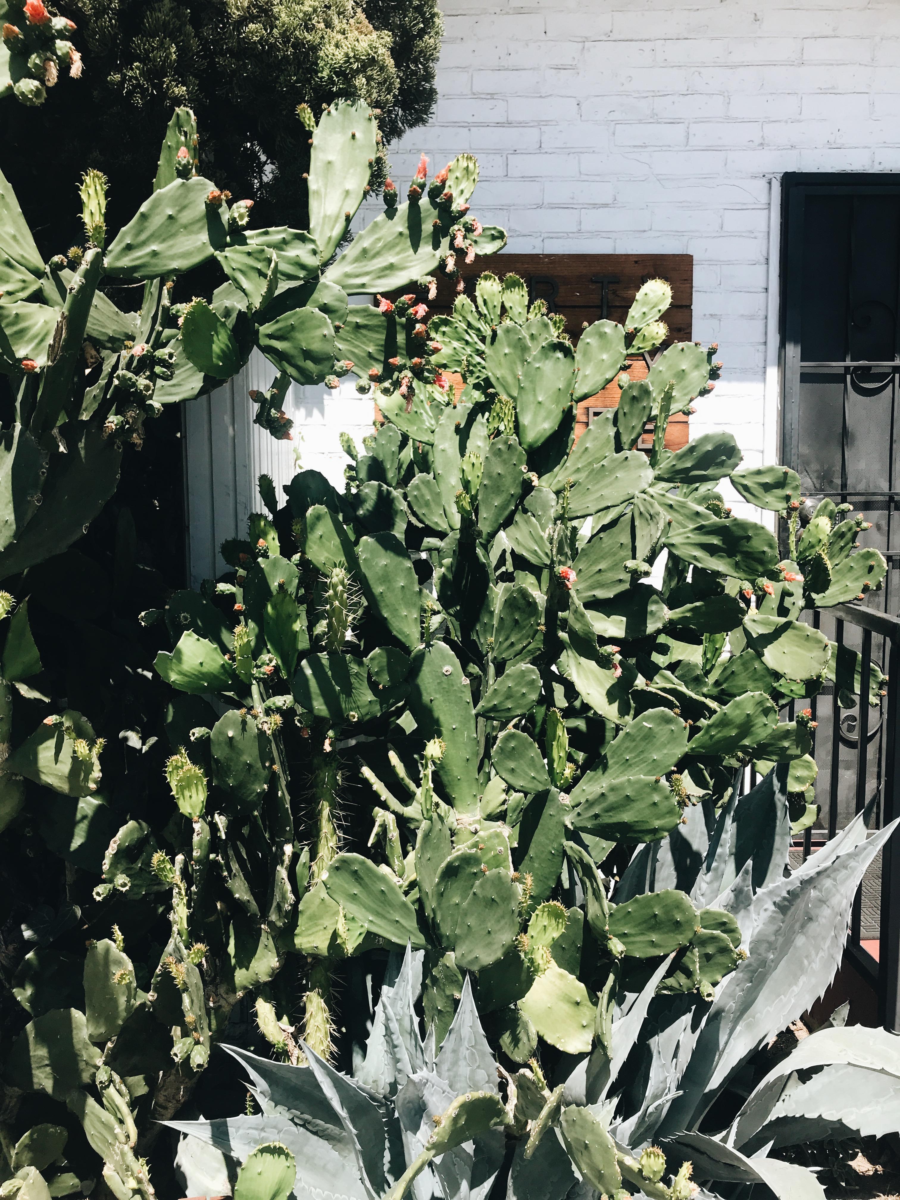 cactus in L.A.