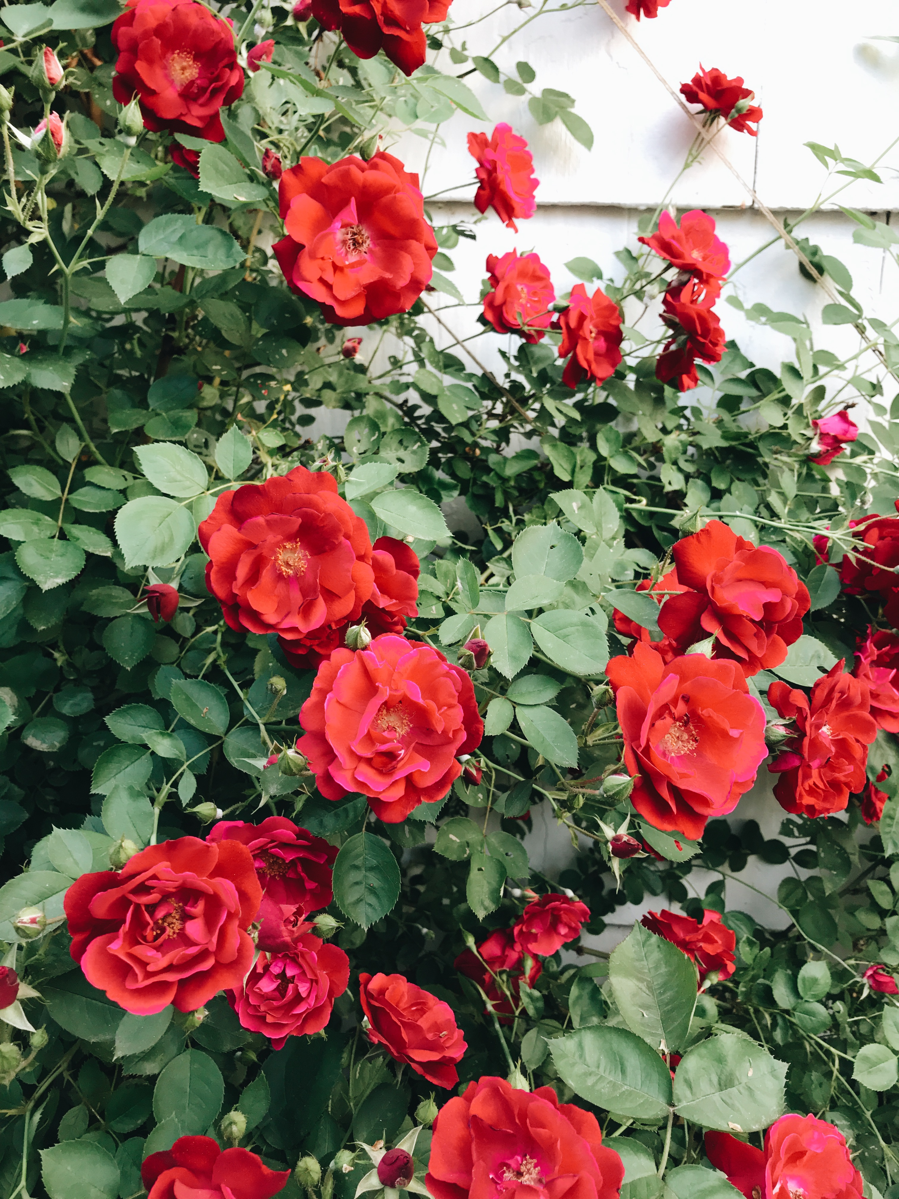 our backyard climbing roses