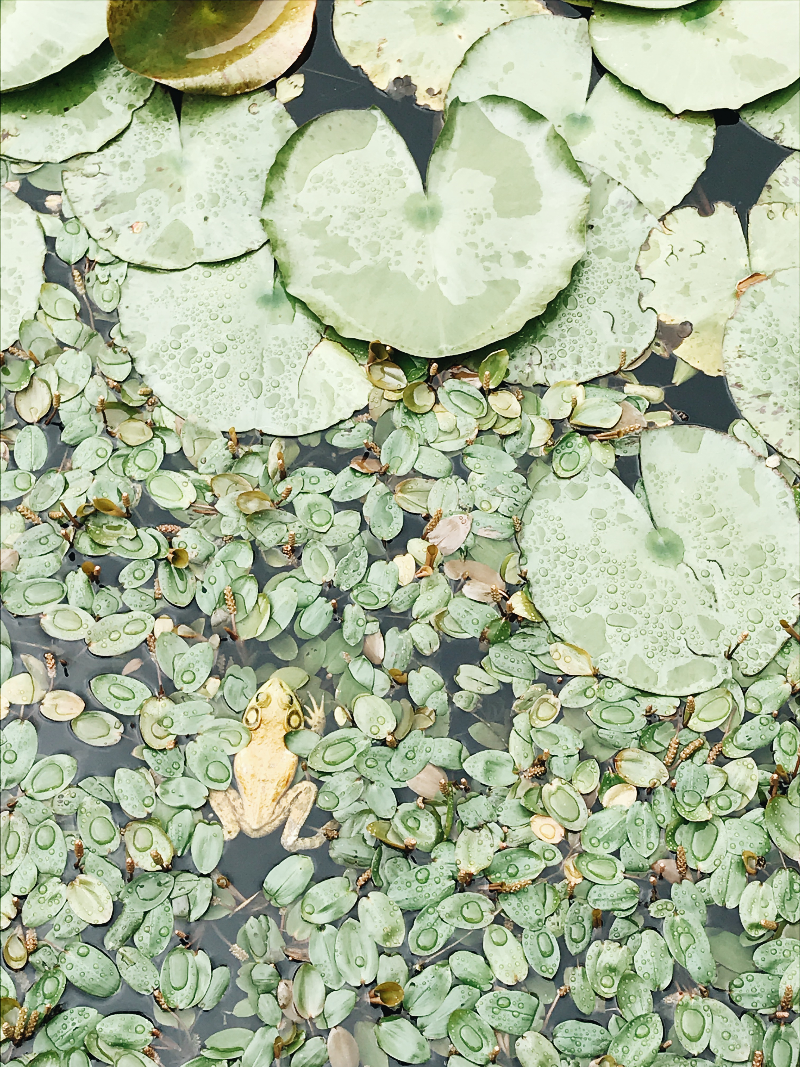 frog in a lily pad pond