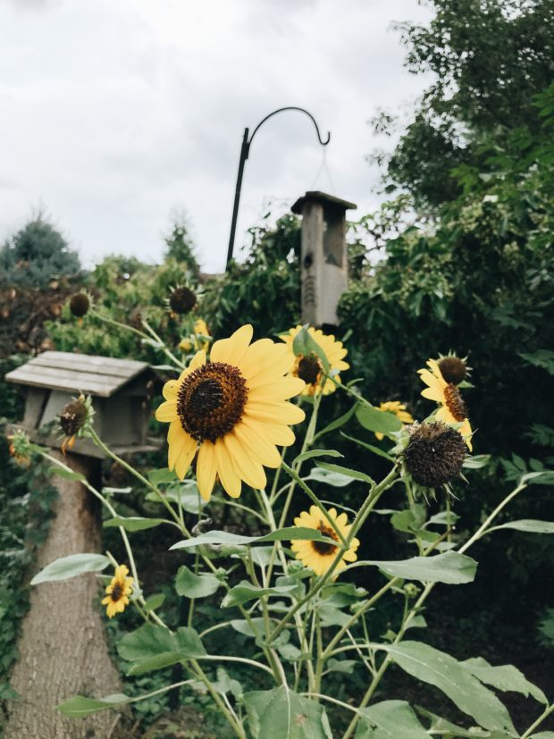sunflowers and bird feeders