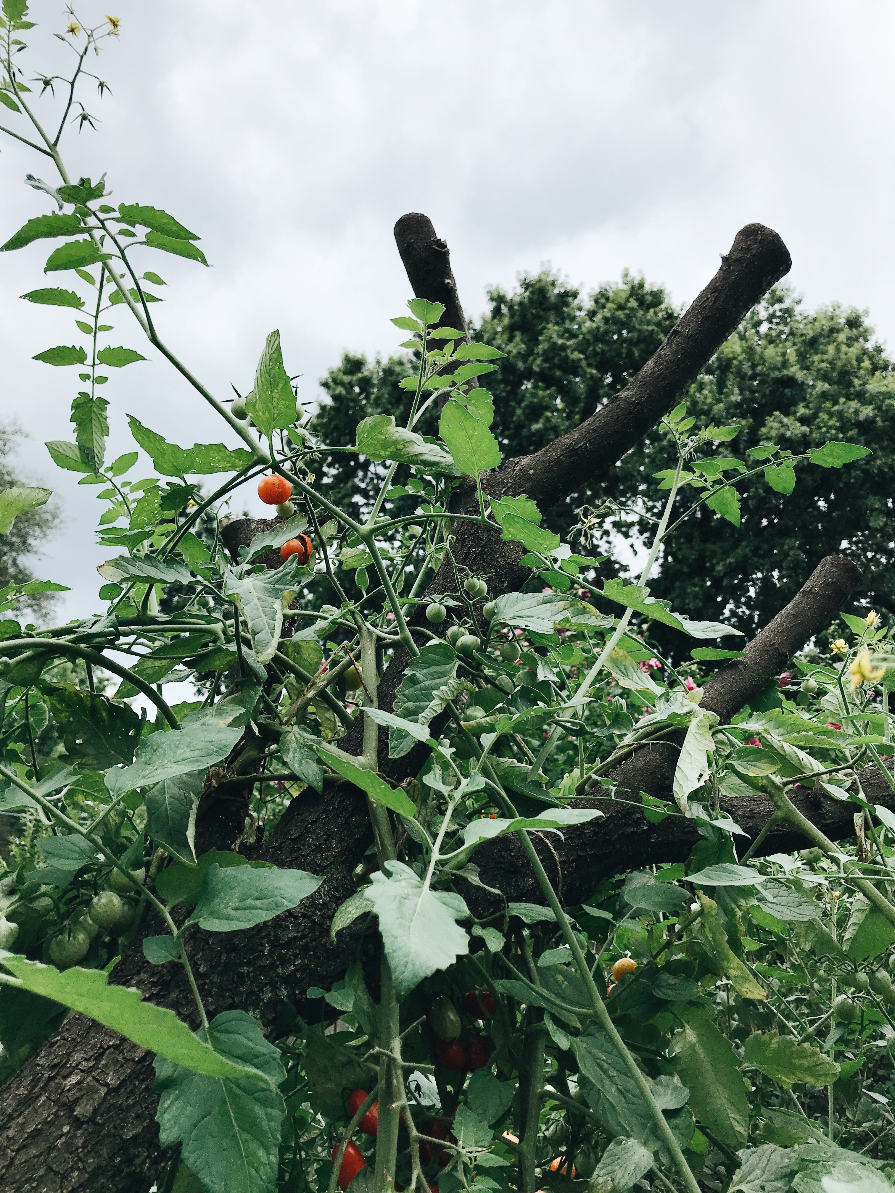 cherry tomatoes on a tree