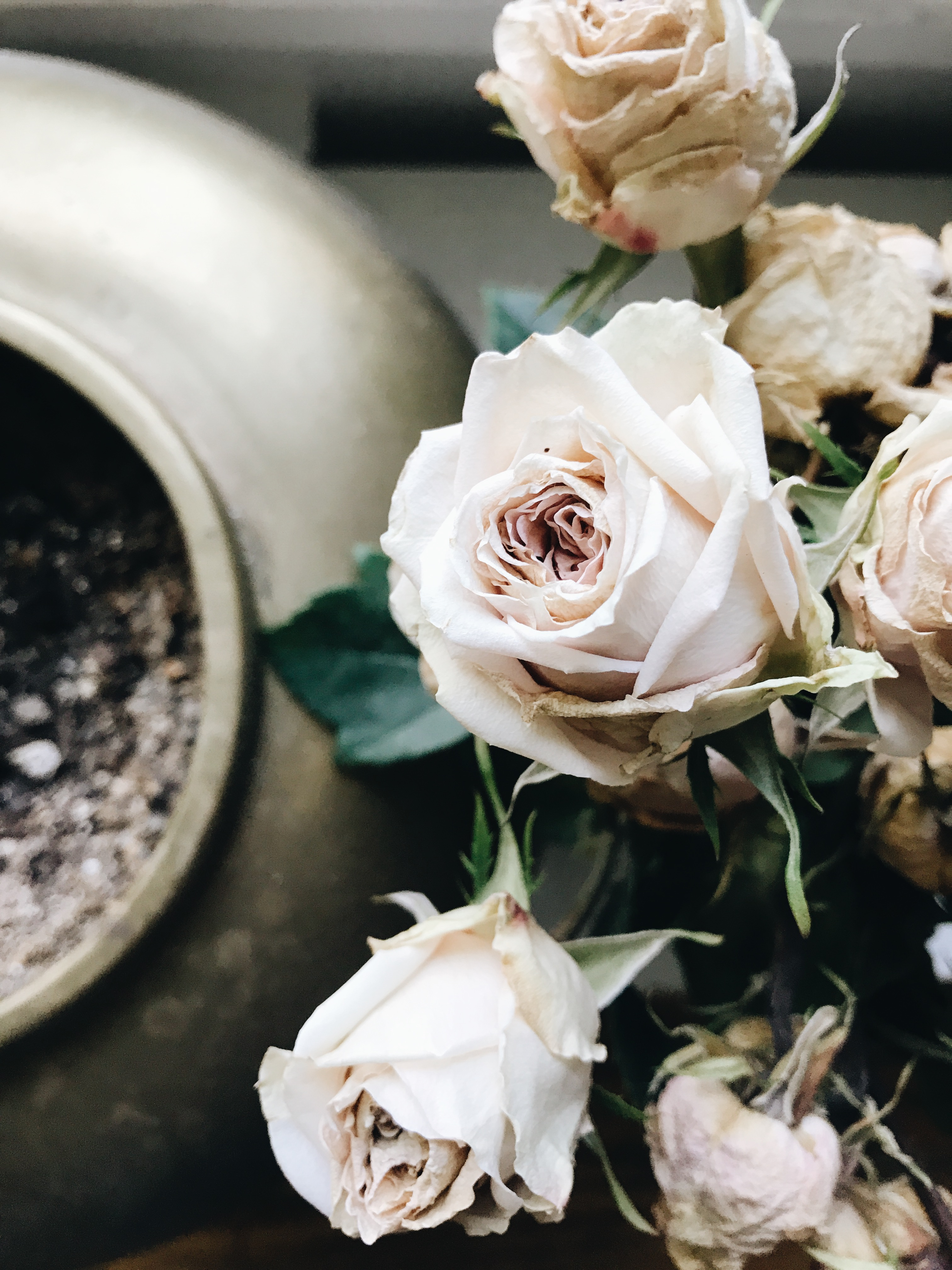 dying roses