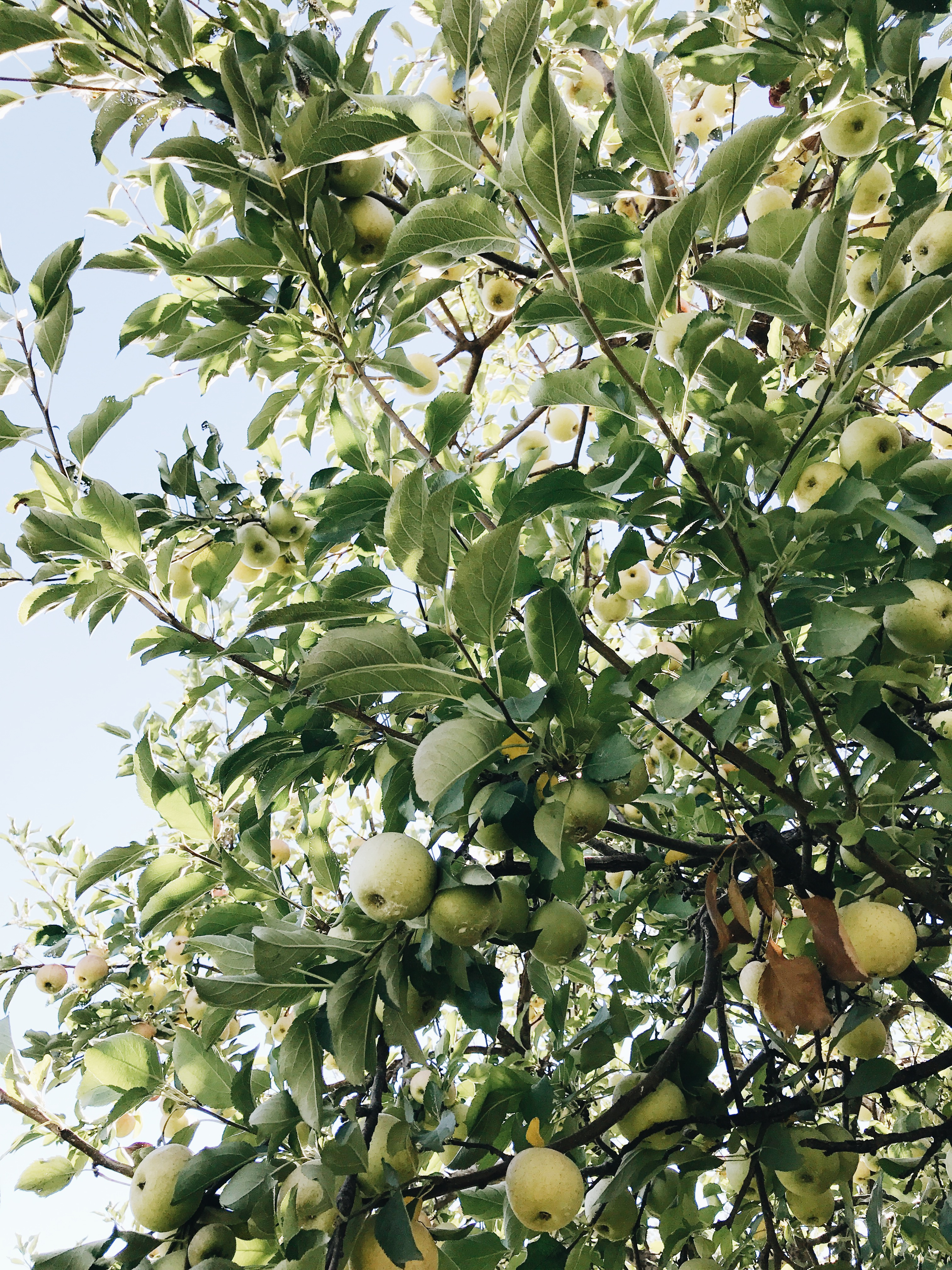 apple orchard tree