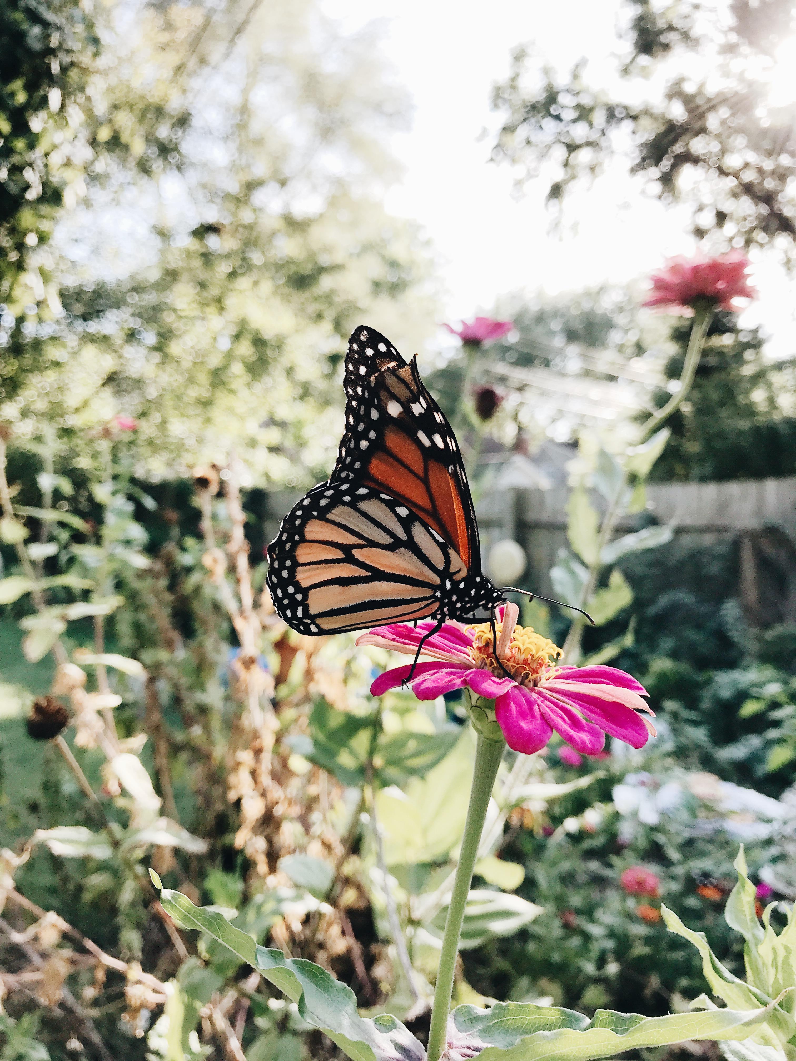 Monarch on a Zinnia