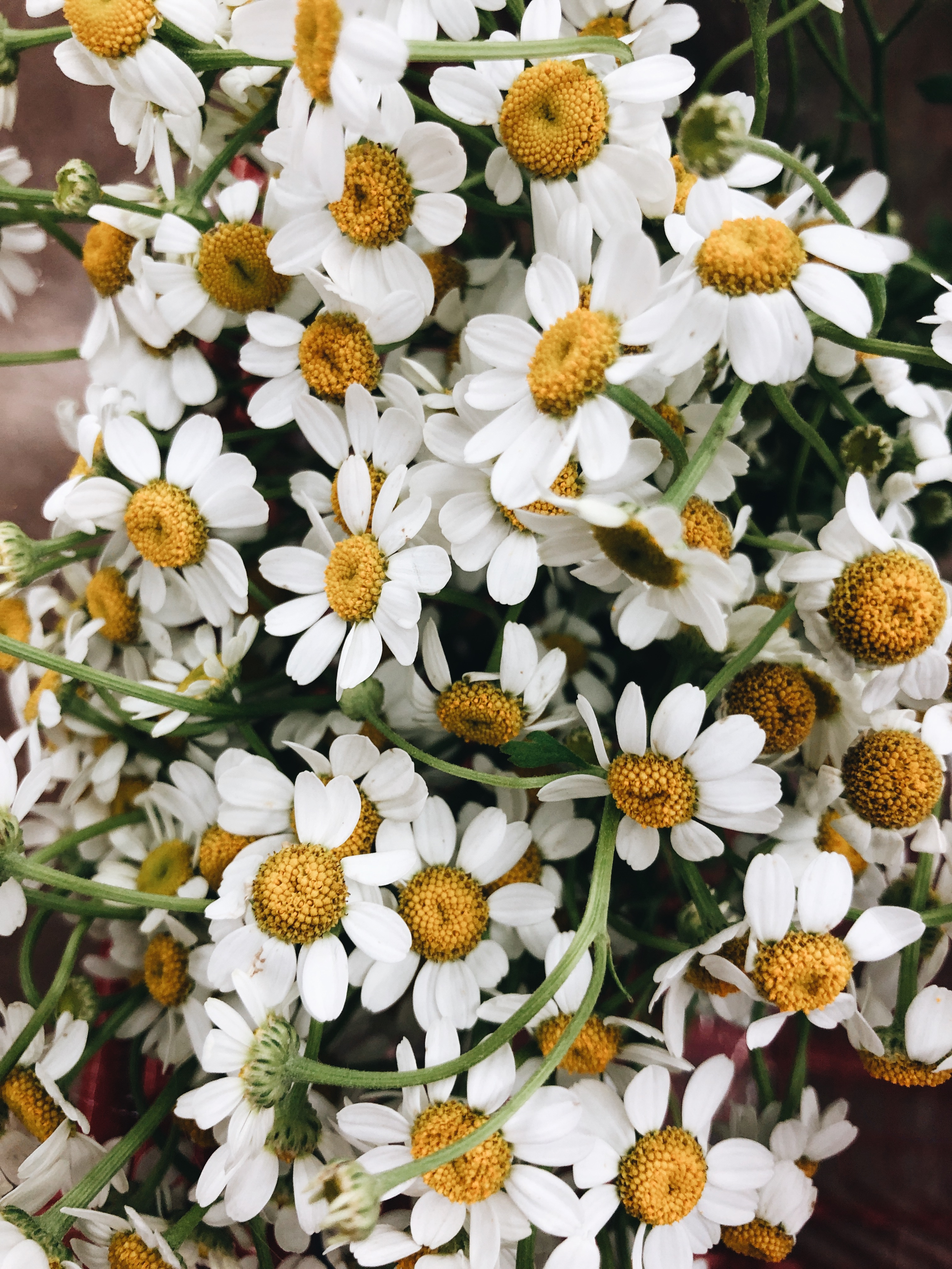 chamomille flowers