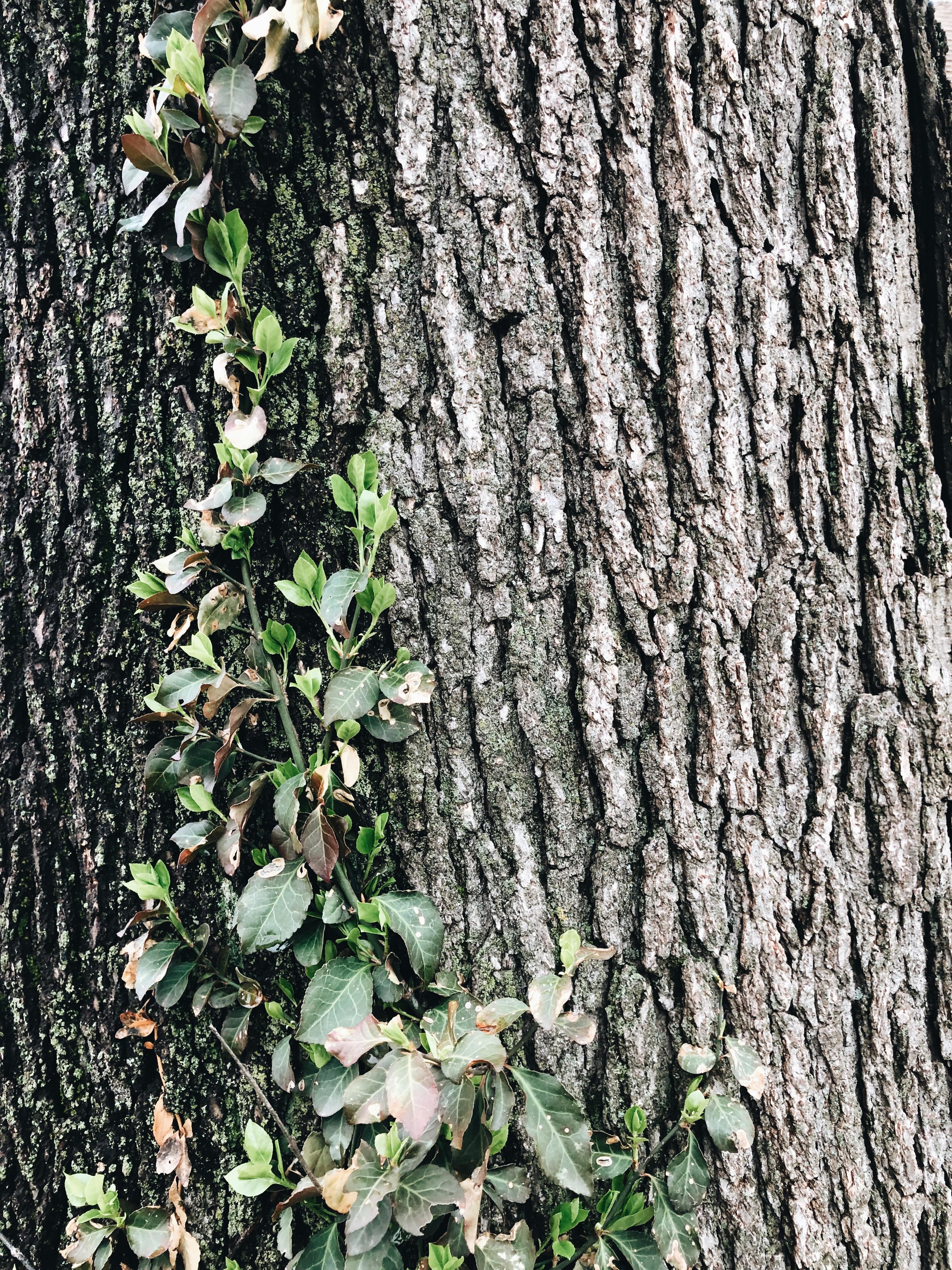 vine on a tree