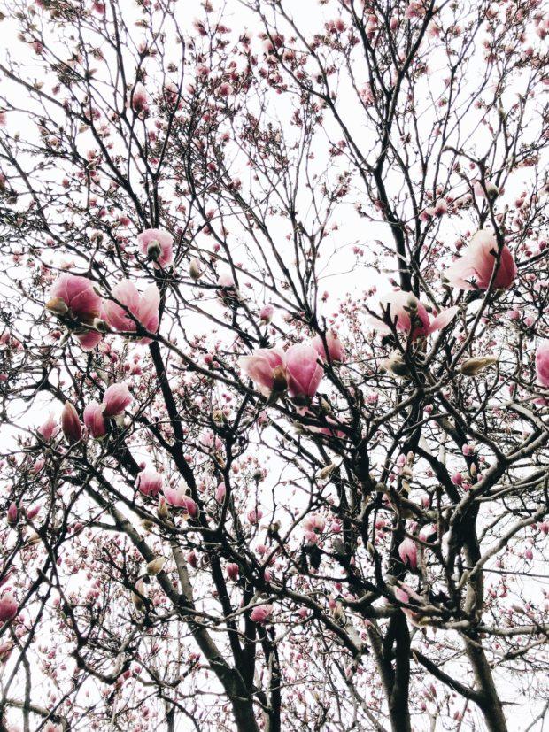 tulip trees