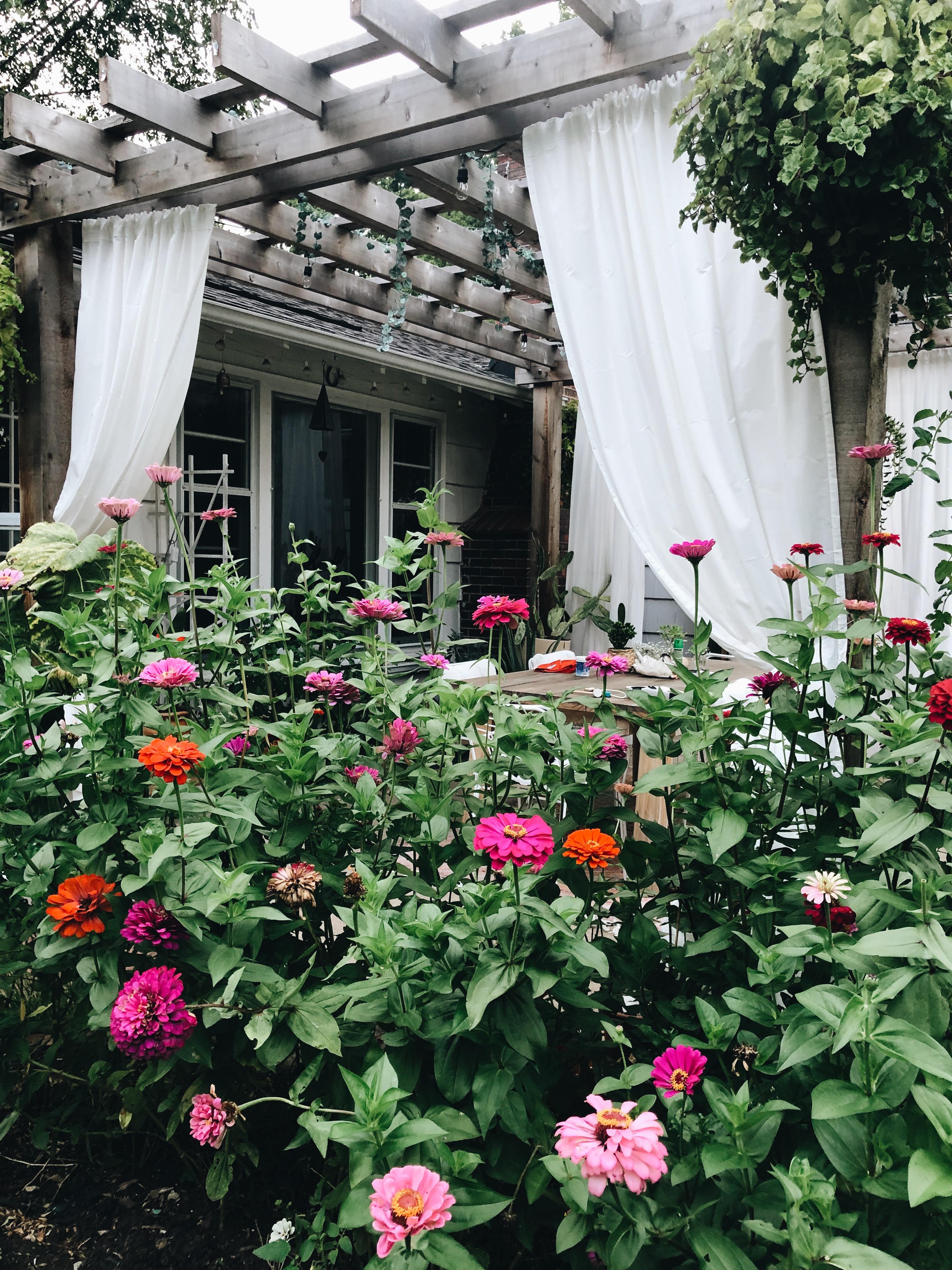 backyard zinnias