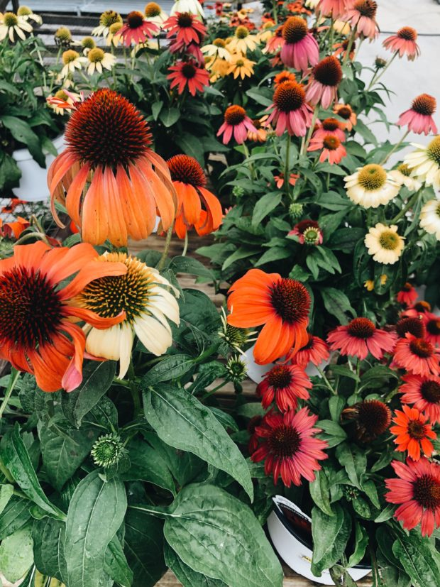 echinacea for days