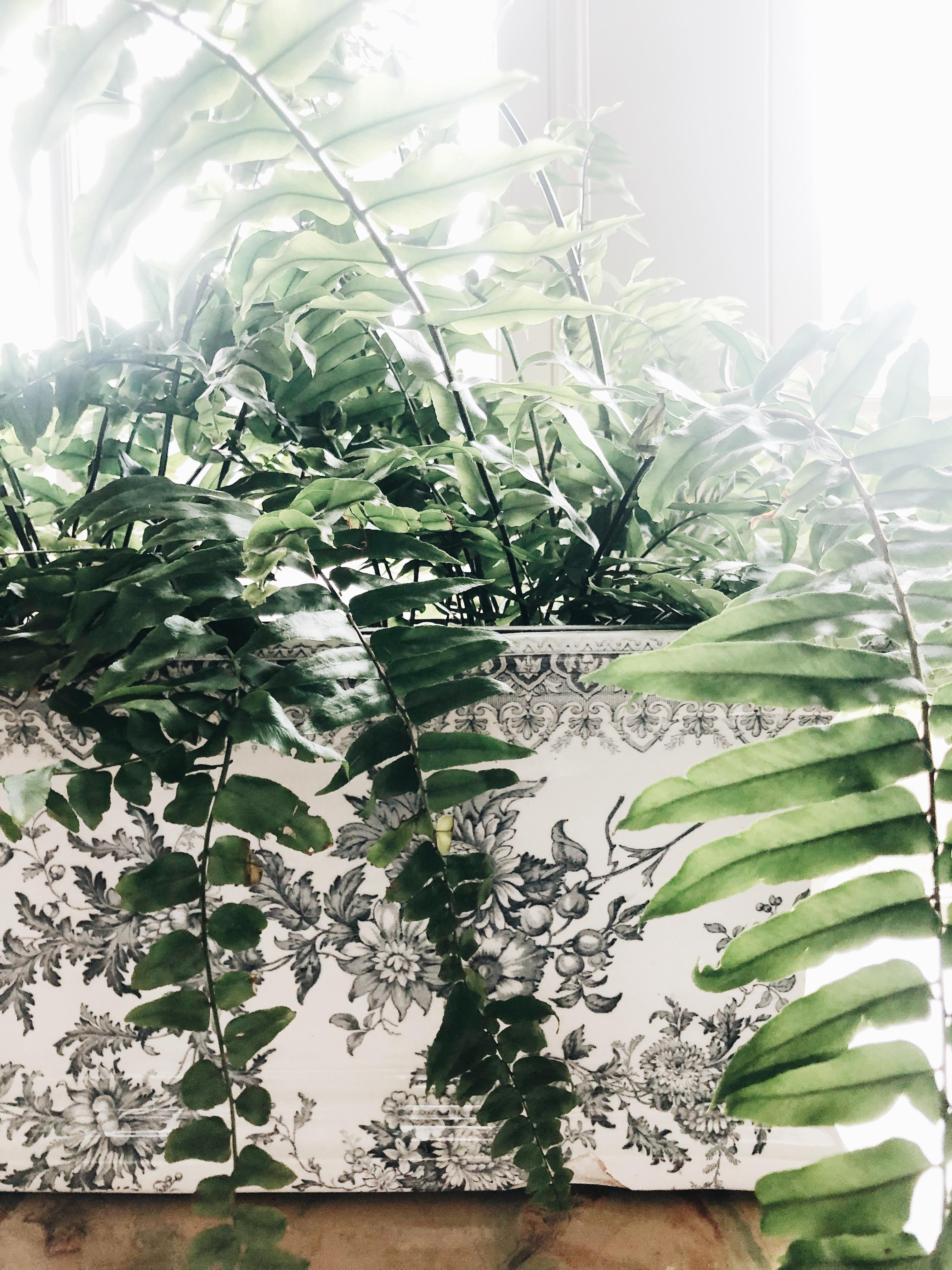 fern in a planter