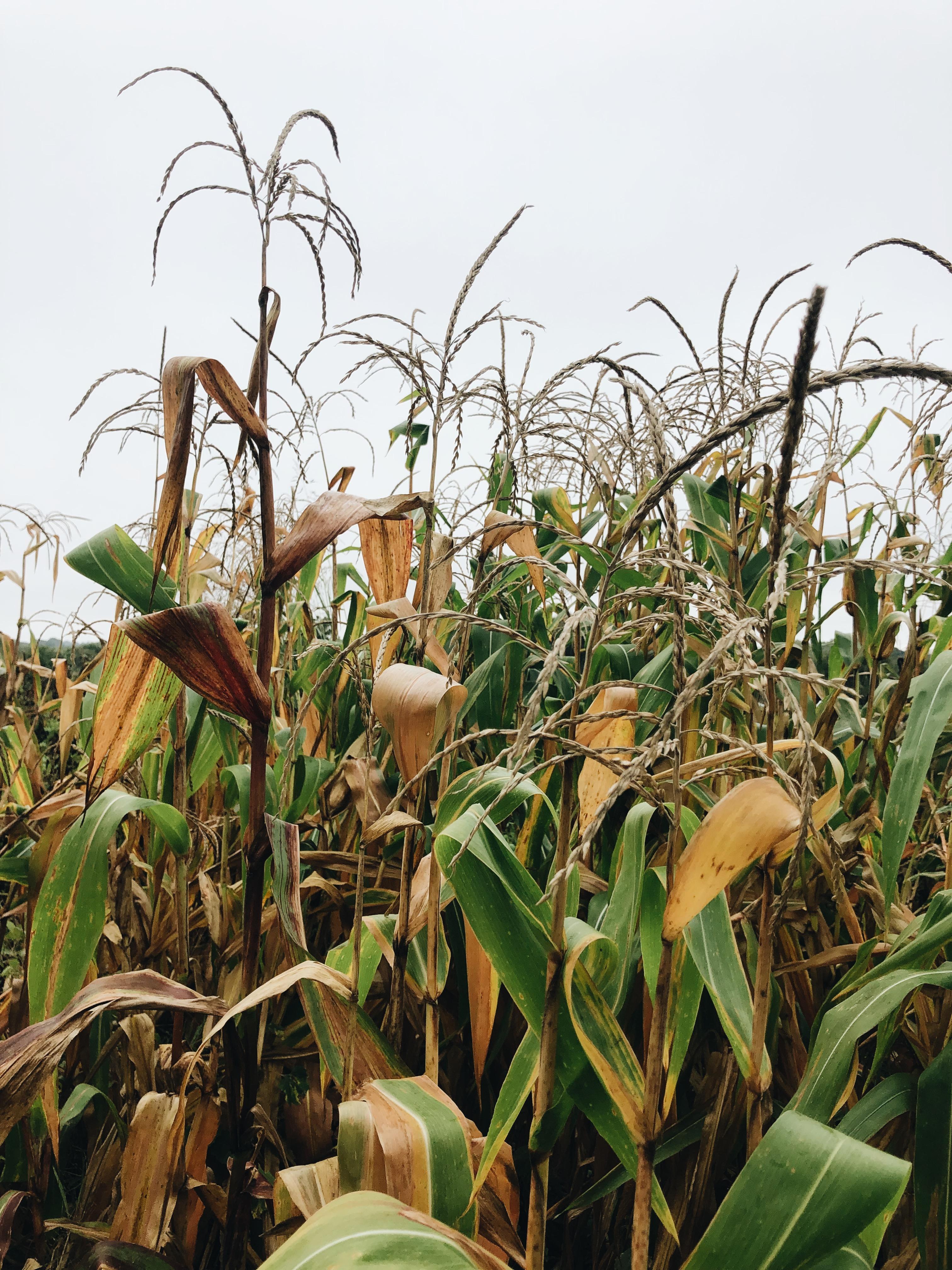 creepy corn field