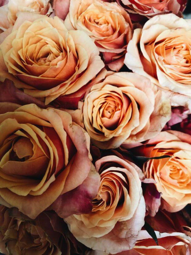 fades roses