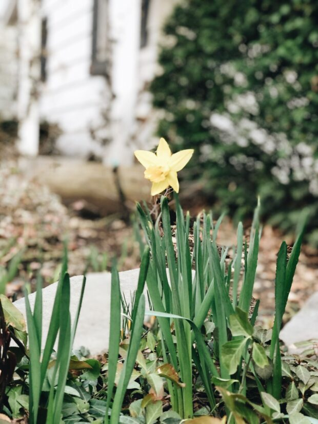 daffodil in the front yard