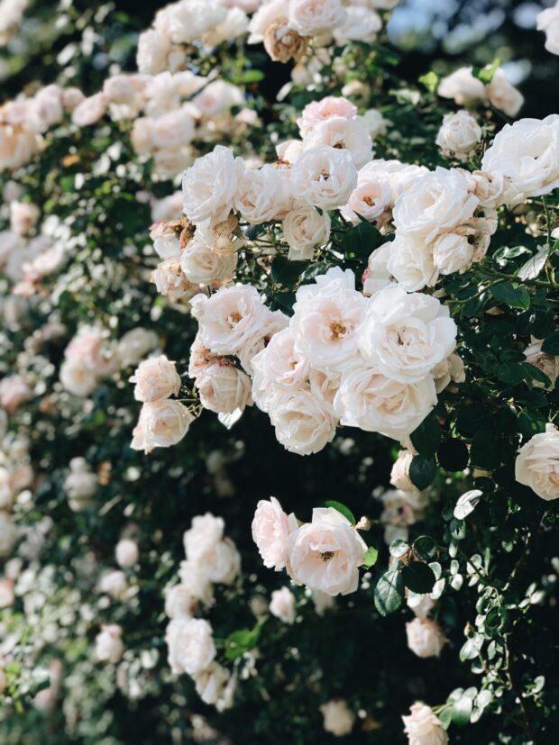 summer roses / bev cooks