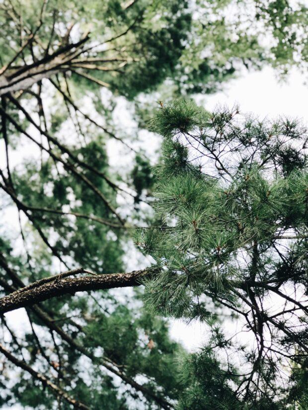 pine tree / bev cooks