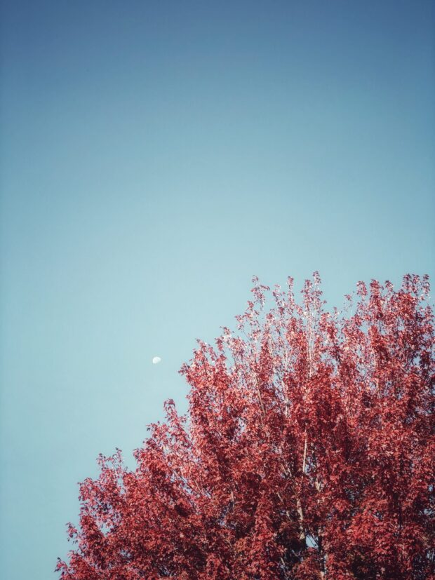 red tree and moon / bev cooks