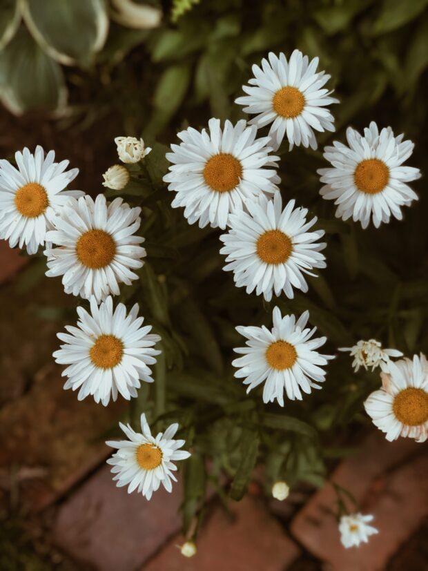 backyard daisies / bev cooks