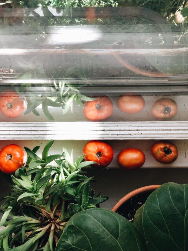 window tomatoes / bev cooks